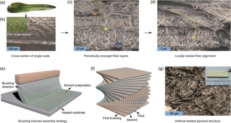 中科大科学家根据巨骨舌鱼鳞片结构研究出新型仿生微