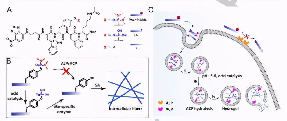 《Angew》西湖大学王怀民:酸催化水解和酶促反应自组装水凝胶